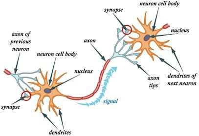 从生物神经网络到人工神经网络